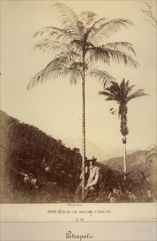 Imagem de um açaizeiro - Instituto Durango Duarte